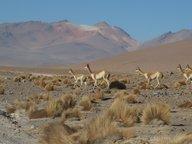 Des vigognes près d'Uyuni